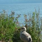 Фото 2. Чайка на берегу Байкала